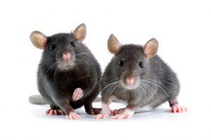 Rats in Atlanta