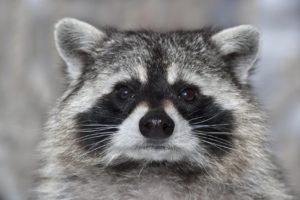 Raccoon in Atlanta