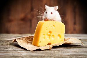 Rat eating cheese in Atlanta